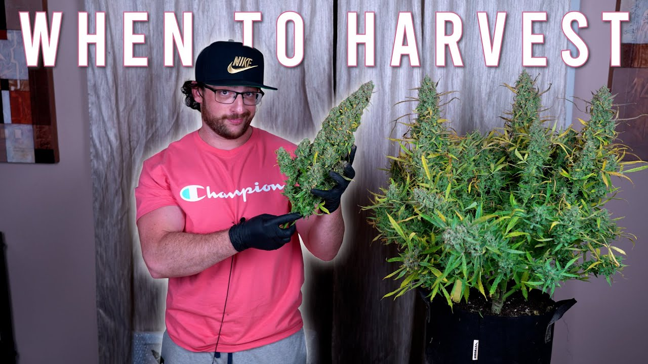 Download HOW TO GROW WEED EASILY (AUTOFLOWERS)... JUST ADD WATER: WHEN TO HARVEST GROWING ORGANICALLY. EP4