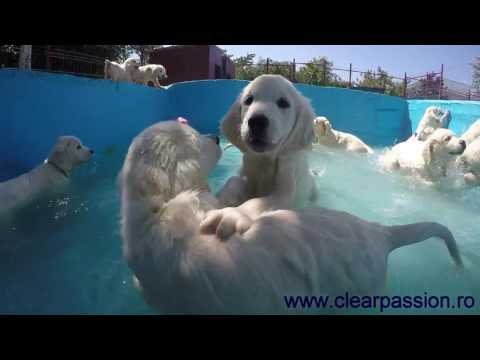 Golden Retriever pups swimming in the pool for the first time