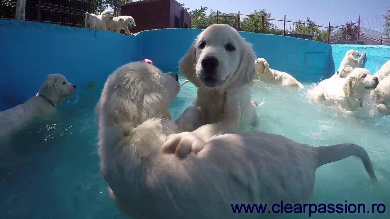 Golden Retriever Pups Swimming In The Pool For The First Time Youtube