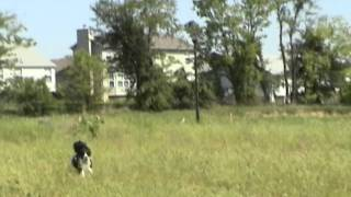 English Springer Spaniels Dixie And Shelby Scarin' Up Some Birds