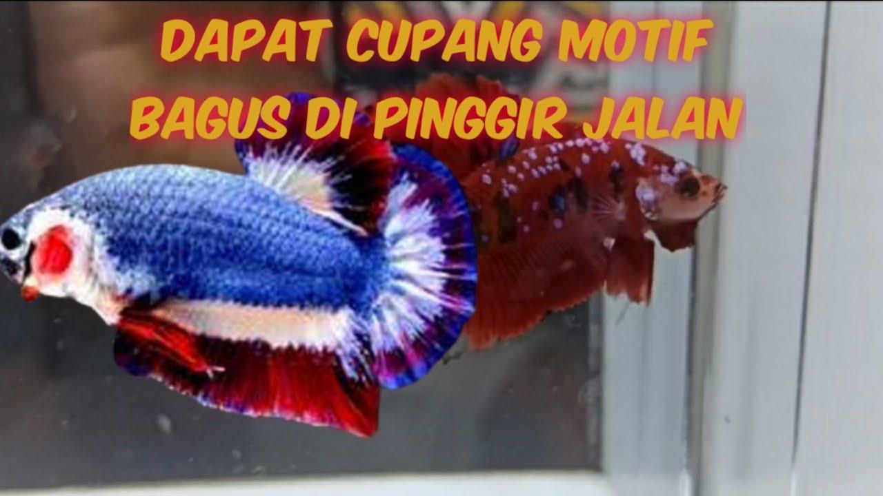 Ikan Cupang Lemas Dan Pucat