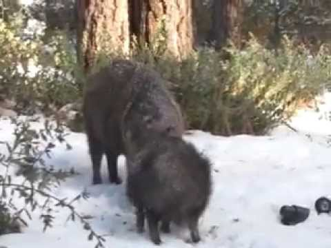 Javelina (Collared Peccary) Eating Peanuts