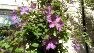 Plants that Will Grow in Shade - Clematis!