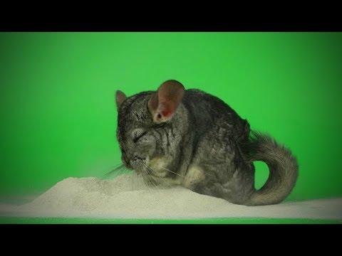 Funny Chinchilla 🐭Funny and Cute Chinchilla (Part 2) [Funny Pets]