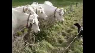 Les vaches (1)