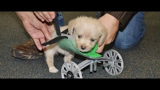 Two-Legged Puppy Gets 3-D Printed Wheels