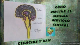 Como dibujar facil y sencillo el sisstema nervioso central.