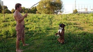 Собака немецкий боксёр выполняет команды сидеть ,назад,голос,лежать,умри)