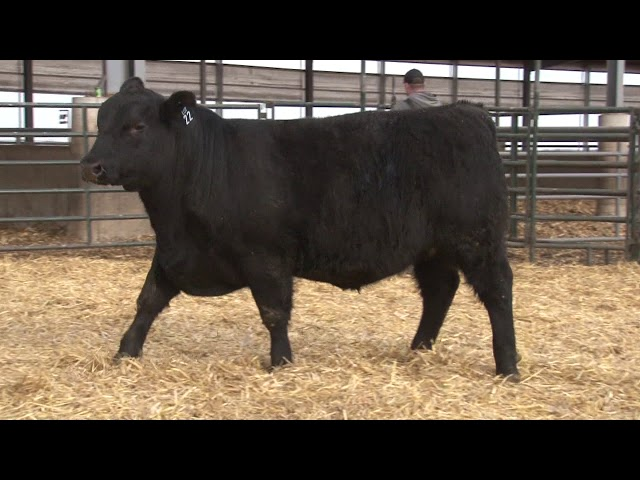 Schiefelbein Angus Farms Lot 22