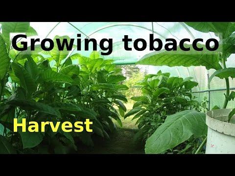 Growing tobacco   Harvest