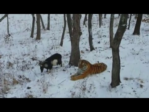 brave-goat-becomes-friends-with-a-tiger-who-was-supposed