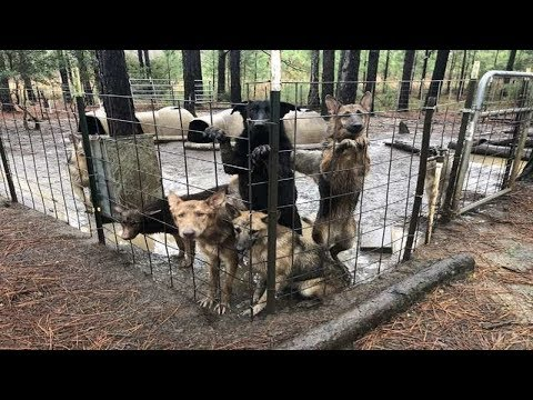 Hundreds Of German Shepherds Saved From Georgia Puppy Mill