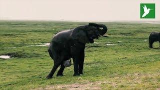 Turistas de safari graban el parto de un elefante