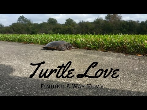 the Weekenders Find a Florida Soft Shell Turtle...Lost Turtle....Finding a way home