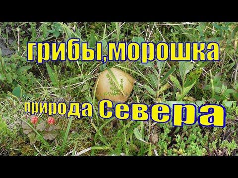 ГРИБЫ В МУРМАНСКЕ ЭТИМ ЛЕТОМ /СЕВЕРНАЯ МОРОШКА /ПРИРОДА КОЛЬСКОГО ПОЛУОСТРОВА