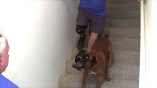 Protection Dog walks backwards up a flight of stairs protecting his owner