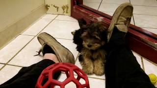 Playing With A Cute Morkie Puppy (yorkshire Terrier + Maltese)