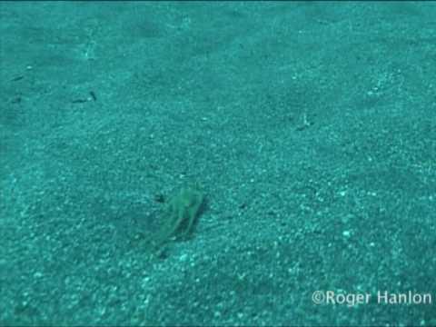Tarn-Oktopus: Tintenfisch imitiert Flunder