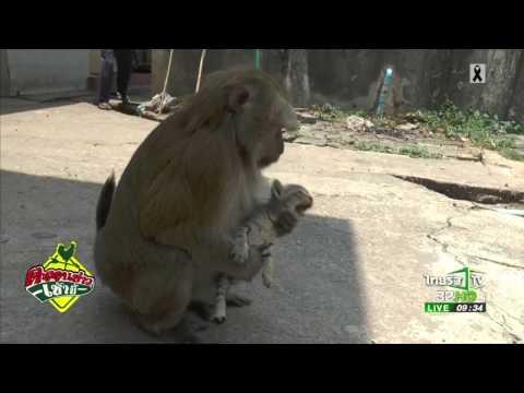 ย้อนหลัง รักต่างสายพันธุ์ลิง-แมว   27-04-60   ตะลอนข่าวเช้านี้