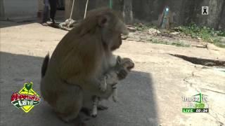 รักต่างสายพันธุ์ลิง-แมว   27-04-60   ตะลอนข่าวเช้านี้