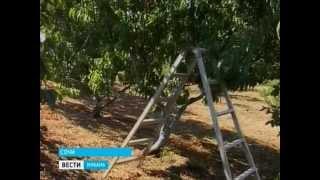 видео: В Сочи созрел сладкий урожай