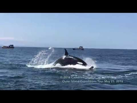 Killer Whales hunting & tossing Harbor Porpoises!