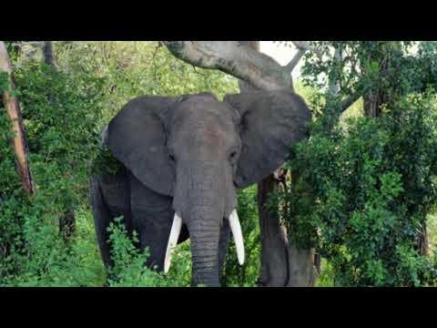 TeFu (Calling of the Congo Elephants)