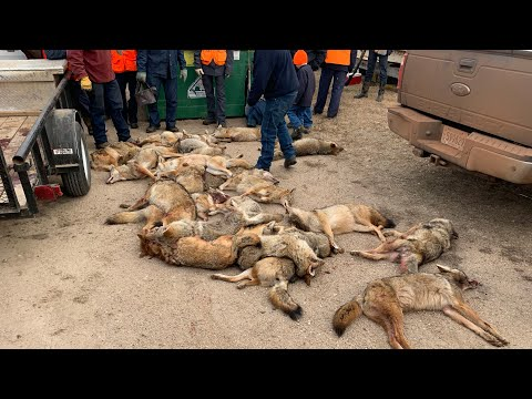 Amish Coyote Hunting 2021!!! (30 Coyote Day)