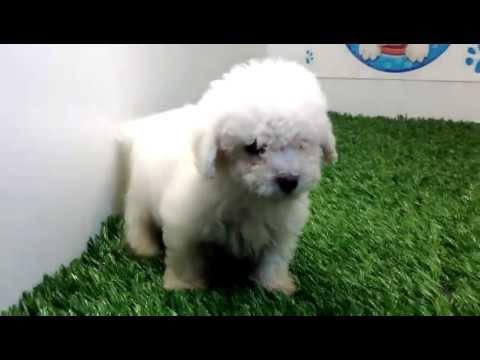 venta de perros cachorros French Poodle Mini Toy Macho Cachorros y mas cachorros.com