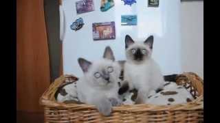 Вермут и Витамин   британские котята лилак поинт и сил поинт   питомник British House