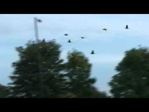 Mitcham Common parakeets 1
