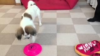 5ヶ月の子犬がフリスビーの練習をします http://rinopapi.blog.fc2.com.