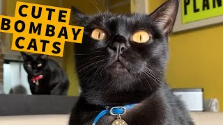 Cute Bombay Cats & Compilation!  Black Cat Breeds And Behavior | Master Gorilla