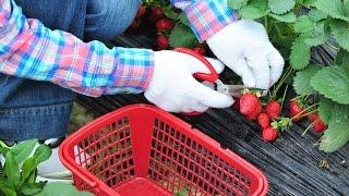 Truskawki - jak sadzić i nawozić?