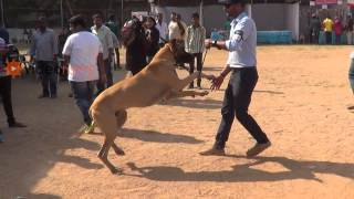 Attractive & Powerful Great Danes Dog in All Breeds Dog Show Competition 2013