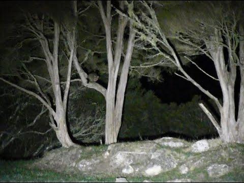 Spotlighting Possums In NZ With The LEDLENSER MT18 Spotlight