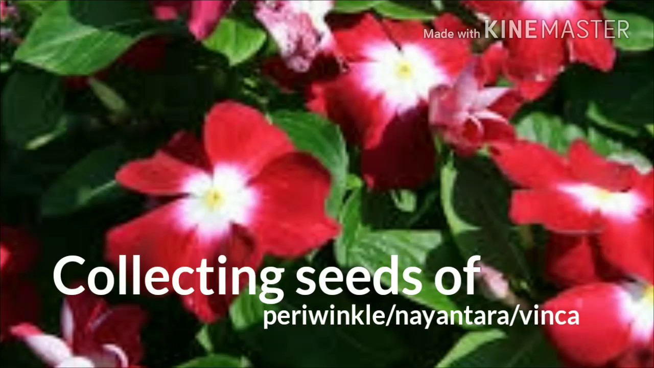 How to collect vincaperiwinkle seeds youtube how to collect vincaperiwinkle seeds izmirmasajfo Gallery
