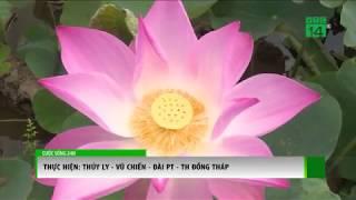 VTC14 | Đồng Tháp: Sen thối ngó, người dân lao đao