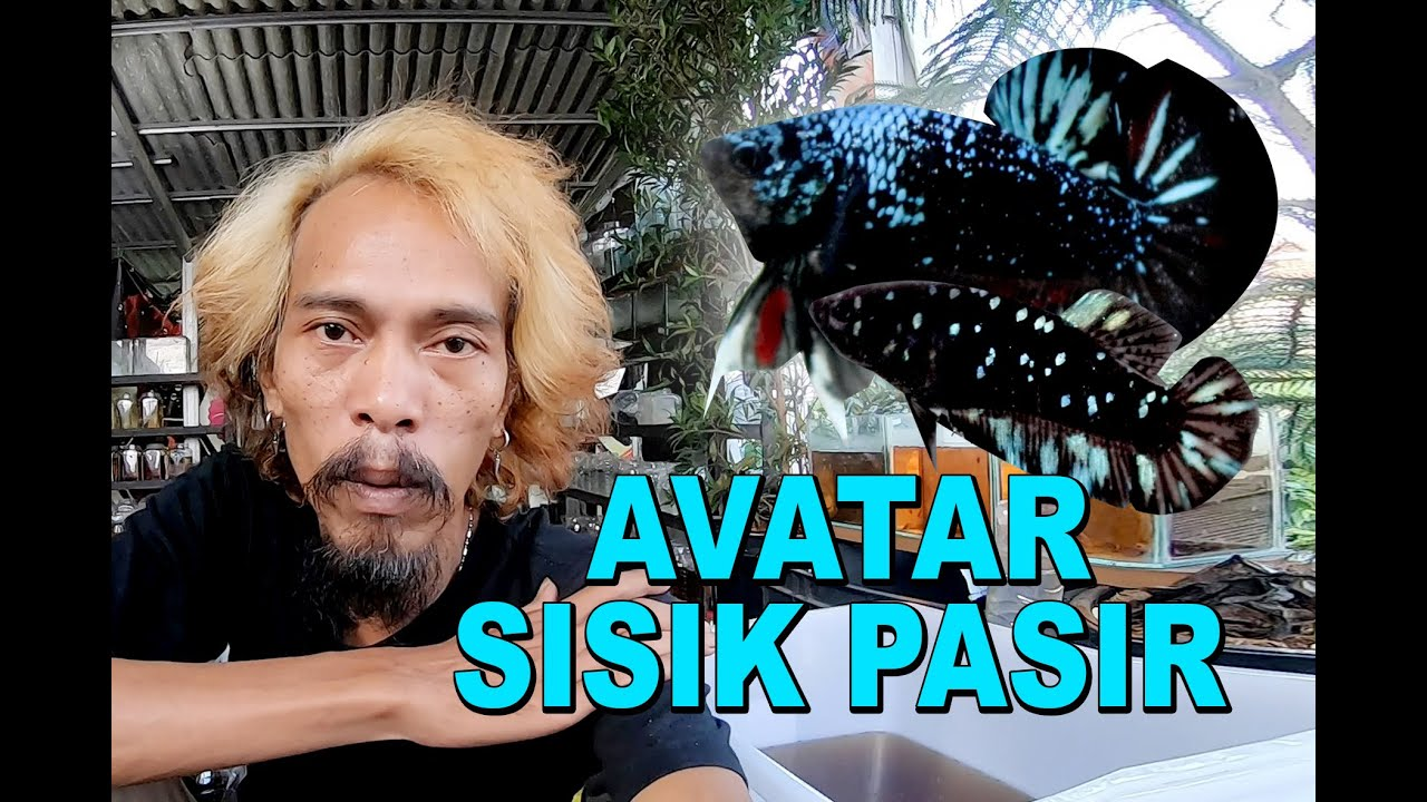 Ikan Cupang Avatar Sisik Pasir Youtube