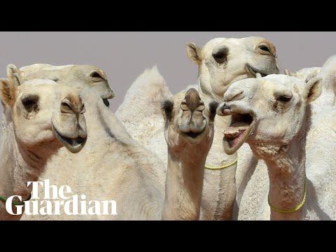 Lip service: camels get 'Botox' at Saudi beauty contest