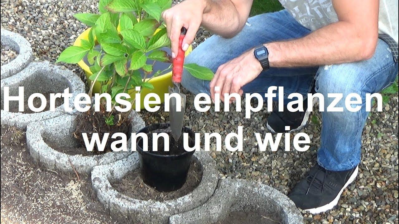 Prächtig Wie und wann pflanzt man Hortensien ein Hortensien einpflanzen #XC_73