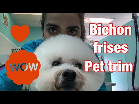 ✂Bichon Frise haircut pet trim by professional groomer| Easy and fast haircut for buchón frise