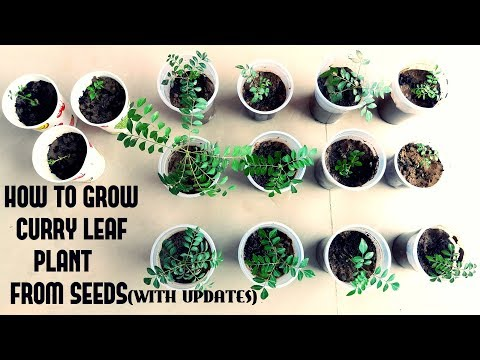 How To Grow Curry Leaf Plant From Seeds With Updates Youtube