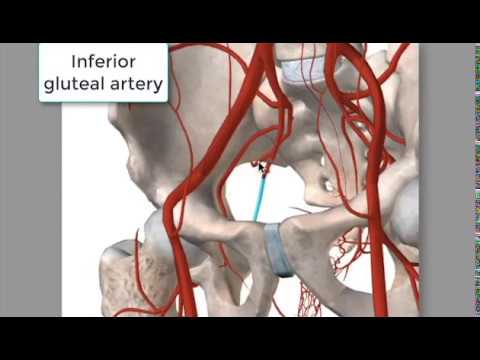 Arterial anastomoses of the lower extremity - Anatomy | Kenhub |Superior Gluteal Artery