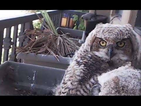 LIVE: Owl Live Stream | The Dodo