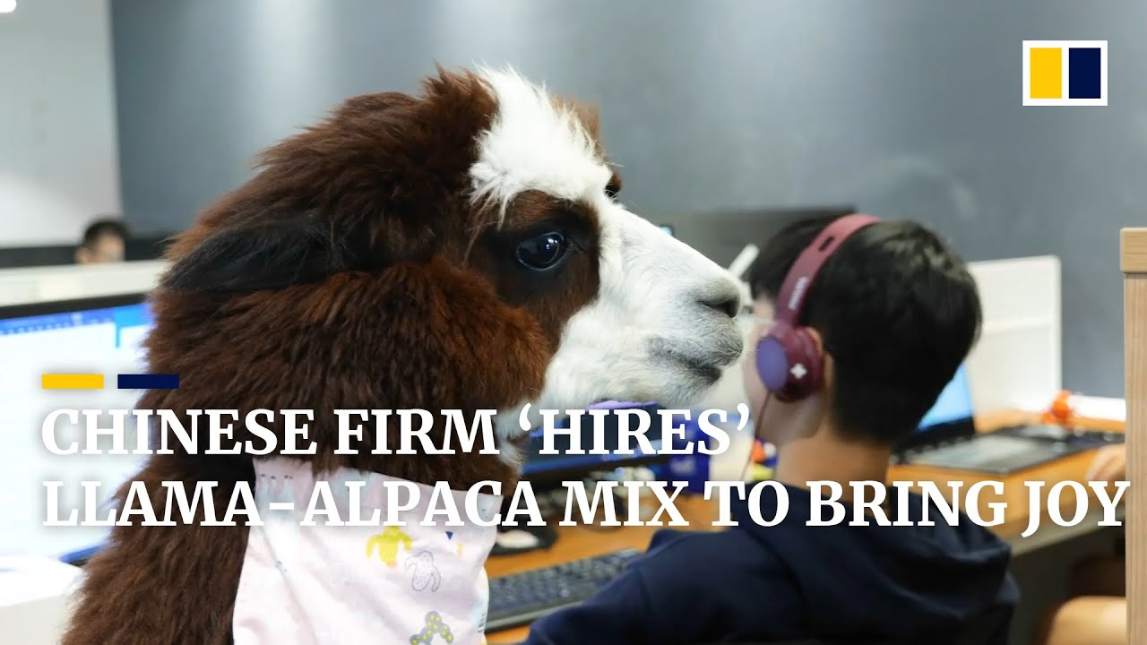 Company in China 'hires' llama-alpaca mix to bring joy to workers