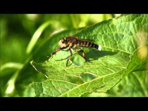 セマダラコガネを食べるシオヤアブ Robber Fly Promachus yesonicus