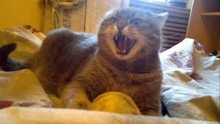 Злой кот кусается
