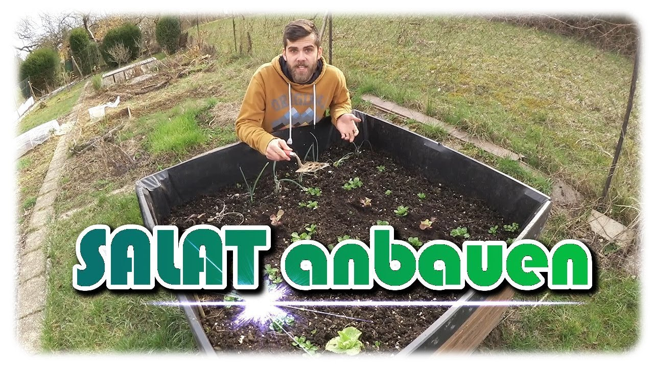 Salat aussäen und auspflanzen | Direktsaat und vorgezogene Pflanzen ...