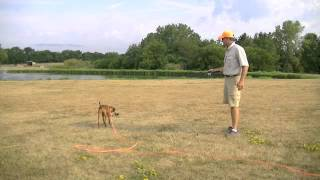 Pointing Dog Puppy Training with Gun Dog Succes part 2